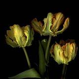 Golden Parrot Tulips Art Print