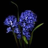 Hyacinth 1 Art Print