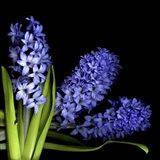Hyacinth 3 Art Print