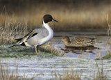 Pintail Ducks Art Print