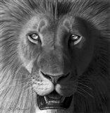Lion In The Morning Light Art Print