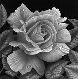 Rose and Raindrops Art Print