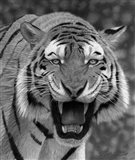 Tiger Growling Art Print