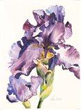 Purple Iris with Bud Art Print