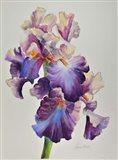 Florentine Iris Art Print