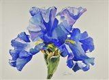Ruffled Iris Art Print