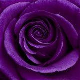 Purple Rose 1 Art Print