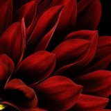 Red Dahlia Close up Art Print