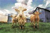 Three Curious Calves Art Print