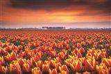 Dramatic Tulips Art Print