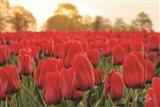 Tulips from Twente Art Print