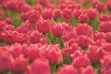 Pretty Pink Tulips Art Print