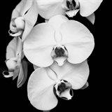 Orchid Portrait I Art Print