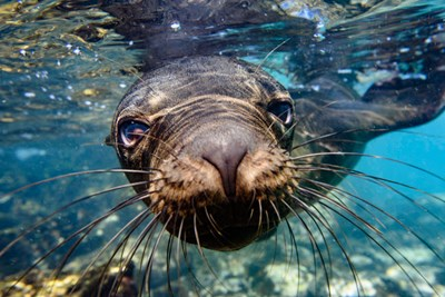 Galapagos Islands, Santa Fe Island Galapagos Sea Lion Swims In Close To The Camera Art Print by Yuri Choufour / DanitaDelimont