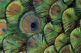 Peacock Feather Design Art Print