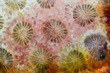 Coral, Indonesia Art Print
