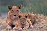 Lions, Okavango Delta, Botswana Art Print