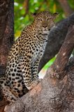 Leopard, Botswana Art Print