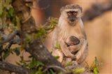 Vervet monkey and infant, Okavango Delta, Botswana Art Print