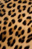 Leopard, Okavango Delta, Botswana Art Print