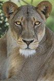 African Lion, Mashatu Reserve, Botswana Art Print