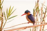 Close-up of Malachite kingfisher, Chobe National Park, Botswana Art Print
