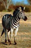 Botswana, Chobe NP, Linyanti, Burchell's zebra Art Print