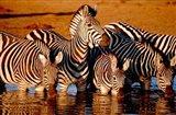 Botswana, Chobe NP, Linyanti Reserve, zebra Art Print