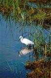 Botswana, Okavango Delta. Egret wildlife Art Print