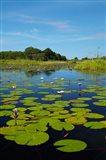 Water lilies, Okavango Delta, Botswana, Africa Art Print