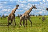 Giraffe, Nxai Pan National Park, Botswana, Africa Art Print