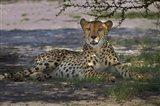 Cheetah,Acinonyx jubatus, Nxai Pan NP, Botswana, Africa Art Print