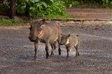 Warthog and babies, Chobe Safari Lodge, Kasane, Botswana, Africa Art Print