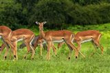 Herd of Impala, by Chobe River, Chobe NP, Kasane, Botswana, Africa Art Print