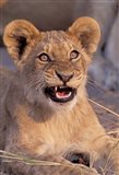 Close-Up of Lion, Okavango Delta, Botswana Art Print