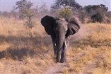 Elephant, Okavango Delta, Botswana Art Print