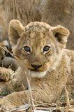 Okavango Delta, Botswana A Close-Up Of A Lion Cub Art Print