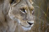 Okavango Delta, Botswana Close-Up Of A Female Lion Art Print