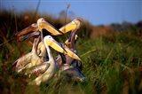 Botswana, Okavango Delta. Pink-backed Pelican birds Art Print