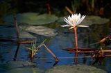 Botswana, Okavango Delta. Water Lily of the Okavango Art Print