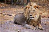 Botswana, Savute, Chobe National Park, Lion Art Print