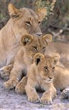 Lioness and Cubs, Okavango Delta, Botswana Art Print
