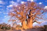 Baobab, Okavango Delta, Botswana Art Print
