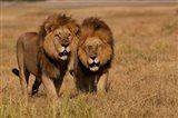 Lions, Duba Pride Males, Duba Plains, Okavango Delta, Botswana Art Print