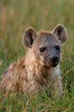 Spotted Hyena, Mombo Area, Chief's Island, Okavango Delta, Botswana Art Print