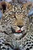 Leopard Female Cub, Savuti Channal, Linyanti Area, Botswana Art Print