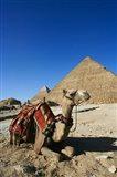 Camel at Cheops, The Great Pyramid, Khafre or Chephren Art Print