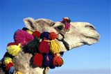 Colorfully Decorated Tourist Camel, Egypt Art Print