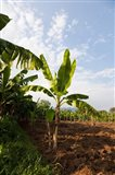 Banana Agriculture, Rift Valley, Ethiopia Art Print