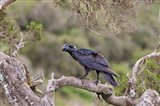Thick-billed raven bird in the highlands of Ethiopia Art Print